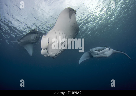 Manta Ray, Palau (Manta birostris) Photo Stock