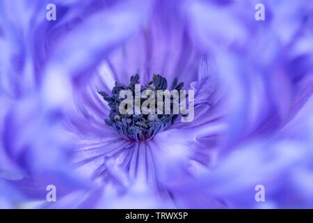 Close up of Anemone (''harmonie Double bleu'). Oregon Photo Stock