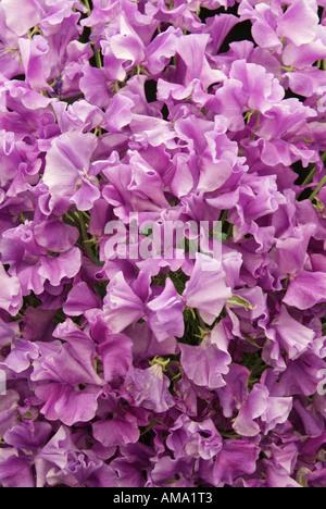 Bouquet de lilas de masse annuelle Lathyrus odoratus pois de Photo Stock