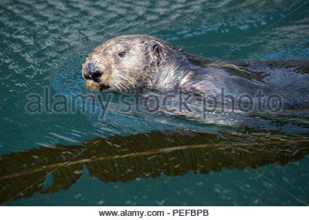 Une loutre nage au large des îles Inian. Photo Stock