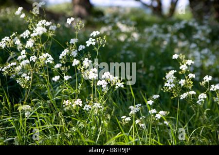 Nom commun: cow parsley Nom latin: Anthriscus sylvestris Photo Stock