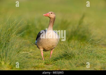 Portrait d'une oie cendrée (Anser anser) Comité permanent sur l'herbe au bord du lac de Neusiedl, dans le Burgenland, Autriche Photo Stock