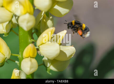 Buff-tailed bourdon (Bombus terrestris) planant dans les airs par un lupin jaune (Lupinus) flower au printemps (mai) dans le West Sussex, Angleterre, Royaume-Uni. Abeille. Photo Stock