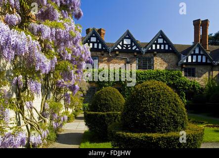 Glycine et topiaires dans la cour en mai à Baddesley Clinton, Warwickshire. Photo Stock