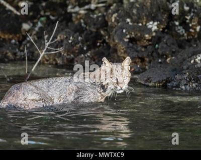 Femelle adulte lynx roux (Lynx rufus) nager dans la rivière Homosassa, Floride, États-Unis d'Amérique, Amérique du Nord Photo Stock