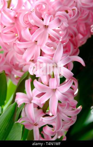 Perle Rose jacinthe fleurs Photo Stock