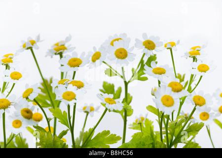 Gros plan de la grande camomille fleurs Nom latin: Chrysanthemum parthenium Photo Stock