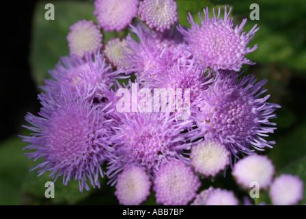 Agérate la moitié hardy botanique fleurs annuel fermer macro close-up closeup fleur pétale étamine Photo Stock