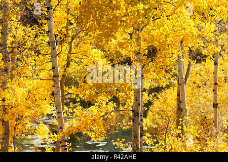 USA, Wyoming. Les feuilles de peuplier d'or brillent dans la lumière du soleil à côté d'un étang. Photo Stock