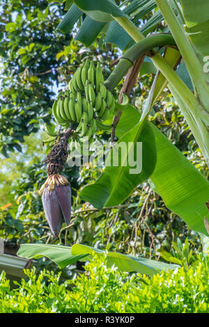 Hawaii, Hanalei, Kauai, banane verte on tree Photo Stock