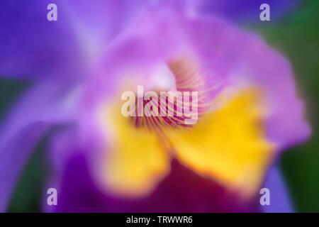 Close up d'orchidées. Maui, Hawaii Photo Stock