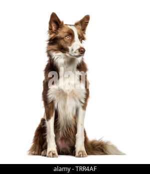 Border Collie sitting in front of white background Photo Stock