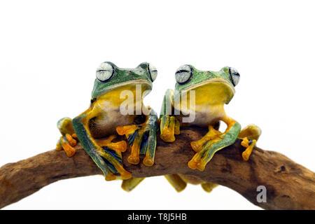 Deux Javan rainettes assis sur une branche, l'Indonésie Photo Stock