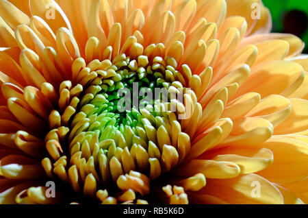 Close up de fleur de chrysanthème jaune Photo Stock