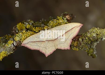 Veine le sang (Timandra griseata) adulte au repos sur des rameaux couverts de lichen, Monmoth, Pays de Galles, juin Photo Stock