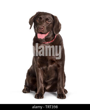 Labrador assis contre fond blanc Photo Stock
