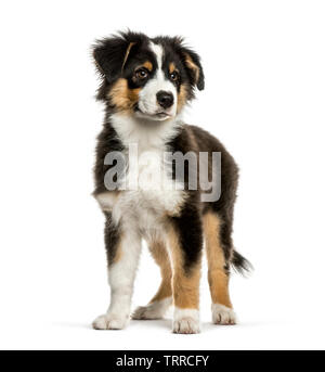 Berger Australien, 4 mois, in front of white background Photo Stock