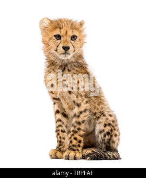 Trois mois cheetah cub assis, isolated on white Photo Stock