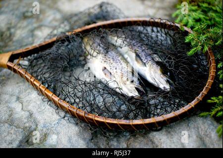 Truite saumonée Photo Stock