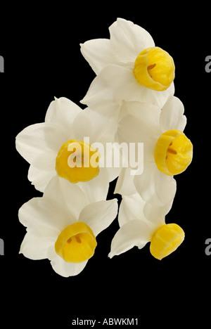 Narcisses blanc crème blanc jonquille fleur pétale groupe close up emblématique de l'atmosphère pittoresque paysage voyage moody classic Photo Stock