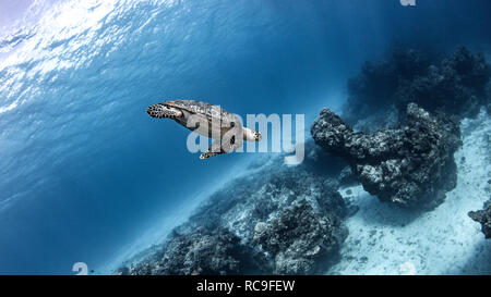 La tortue imbriquée, Cozumel, Quintana Roo, Mexique Photo Stock