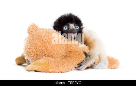 Soa, âgé de 4 mois, couronné Sifaka, serrant une peluche contre fond blanc Photo Stock
