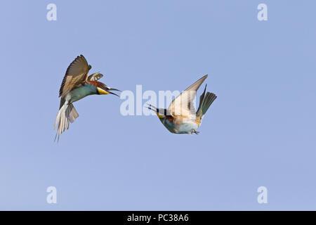 Guêpier d'Europe (Merops apiaster) 2 adultes, les combats en vol, la Hongrie, d'Hortobagy, Mai Photo Stock
