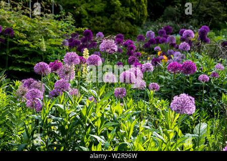 Close up of bed rose et violet avec Allium vert luxuriant feuillage. Photo Stock