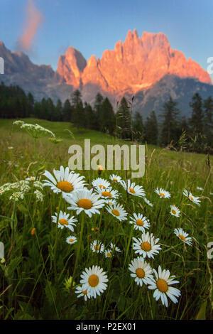 Le coucher du soleil, prairie, fleurs, été, montagne, Pale di San Martino, Dolomites, Italie Photo Stock