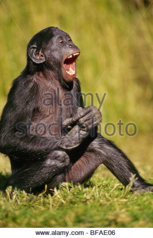 Rire juvénile Bonobo, pan paniscus, originaire de République démocratique du Congo Photo Stock