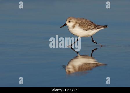 Bécasseau sanderling Calidris alba Un adulte qui traversent les eaux peu profondes de la côte du Lincolnshire, Photo Stock