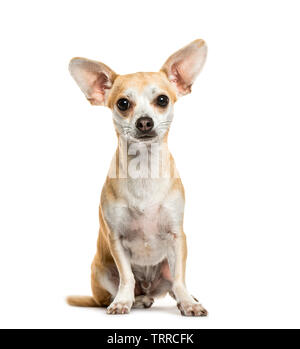 Chihuahua sitting in front of white background Photo Stock