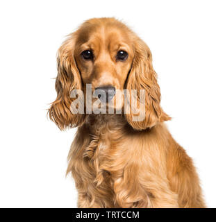 Cocker Anglais looking at camera against white background Photo Stock