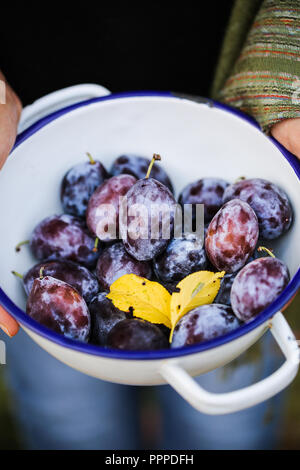 Les prunes d'Ard. Photo Stock