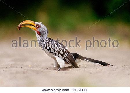 Calao à bec jaune du Sud tenue proie, Tockus leucomelas, Savute, Botswana Photo Stock