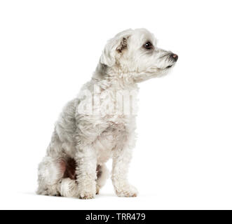 Maltese dog sitting in front of white background Photo Stock