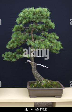 Yew bonzai bonsai Chinese Chine Japon orient orient oriental de l'Est Photo Stock