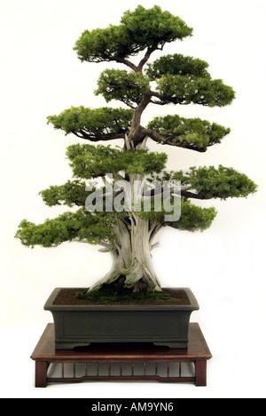 Genévrier bonzai bonsai Japonais Chinois Chine Japon orient orient oriental de l'Est Photo Stock