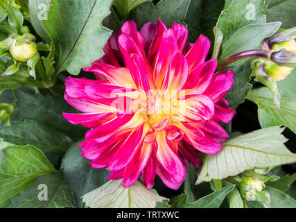 Dahlia Hybrida 'Grandalia Sunrise' en été dans le West Sussex, Angleterre, Royaume-Uni. Photo Stock