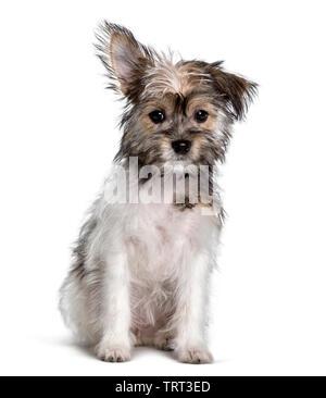 Race mixte , yorkshire et Chihuahua, assis à l'arrière-plan blanc Photo Stock