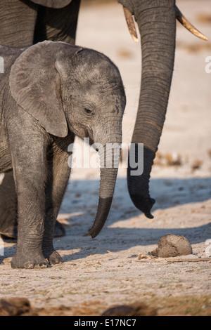 L'éléphant africain (Loxodonta africana) jeune veau et sa mère sur les rives de la rivière Chobe.Le Parc National de Chobe au Botswana. Photo Stock