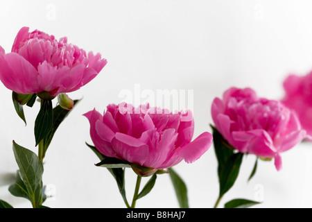 Pivoines. Nom latin: Paeonia Photo Stock