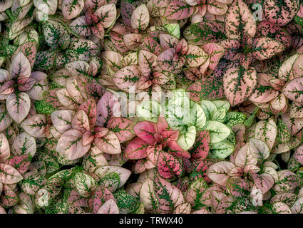 Close up d'Hypoested à pois blanc. Oregon Photo Stock