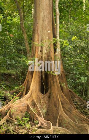 Le contrefort racines d'un arbre Ficus dans la jungle, la Quebrada Valencia, Magdalena, Colombie Photo Stock