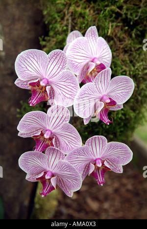 Phalaenopsis orchidée épiphyte bistro malibu hothouse terrestre fleur floral tropical exotique de l'usine de pulvérisation de l'Est Moyen-Orient jungle Photo Stock