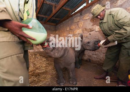 Rhinocéros blanc bébé orphelin (Ceratotherium simum) alimenté à Lewa Wildlife Conservancy.Kenya Photo Stock