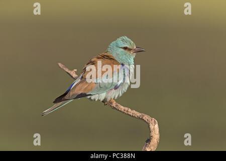 (Coracias garrulus European Roller) adulte, perché sur des rameaux, en débourrant des plumes, N.P. Hortobagy, Hongrie, Mai Photo Stock