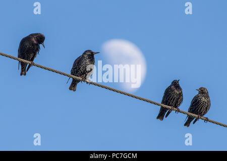 Les étourneaux se rassemblent sur les fils d'électricité avant de se percher pour la nuit à l'effritement, Preston, Lancashire Photo Stock