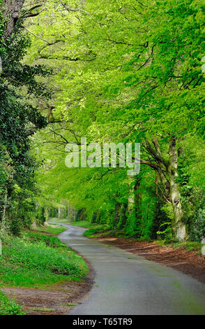 Printemps vert feuilles des ormes dans la campagne, stody, North Norfolk, Angleterre Photo Stock