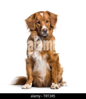 Toller, 2 mois, assis contre un fond blanc Photo Stock